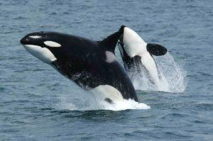 killer-whales-591130_1280